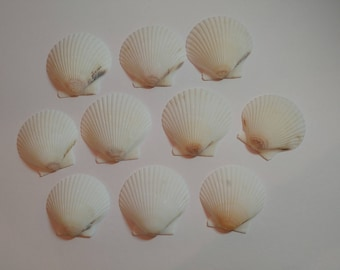 Scallop Shells - From Crystal River, FLorida - Freshly Caught by me - Shells - Seashells - White Seashells - 10 Natural Shells  #132