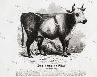 Authentic 1842 Natural History Print of Cow- Large print-black and white Farm animal