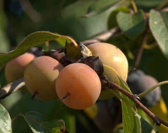 50  Seeds Date Plum Seeds , Diospyros lotus Seeds