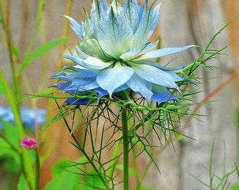 Love in a Mist Seeds Unusual Blue Flower, Attract Butterflies, 25 Seeds