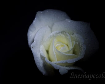 White rose with water droplets - Nature photography print, flower photography, floral print