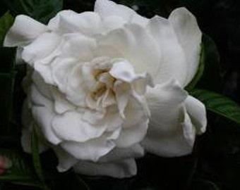 Oil Perfume Lanai Exotic Gardenia White Floral Tuberose