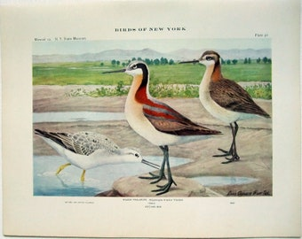 Wilson Phalarope - Antique Print by Louis Agassiz Fuertes - From the 1910 Edition of The Birds of New York. Sandpiper. Avian