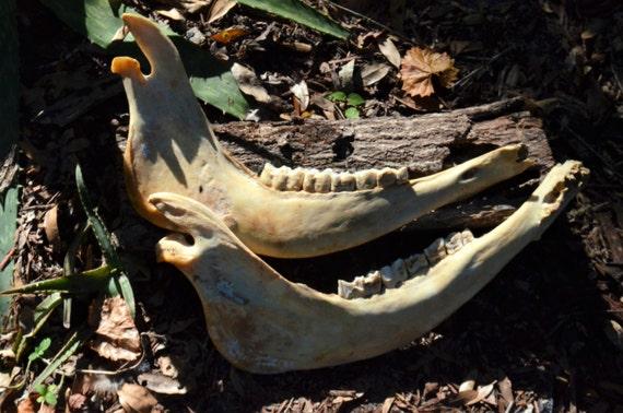 Animal jaw, watusi jawbone, pair of watusi jaws