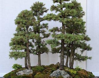 Bonsai - BLACK SPRUCE (Picea Mariana) 5 seeds