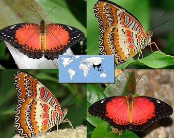 Supplies for your artworks - dried real butterfly insects: 5 pieces Cethosia biblis, UNMOUNTED AA, A quality