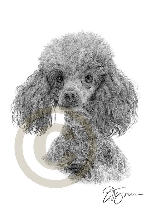 Dog Toy Poodle Pencil Drawing Print A4 Size Artwork Signed