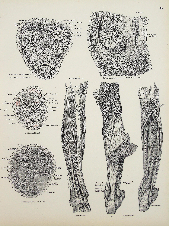 Menschliche Muskeln der Beine Waden Knie antike 1880er