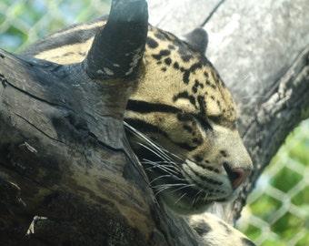 Clouded Leopard Sleeping