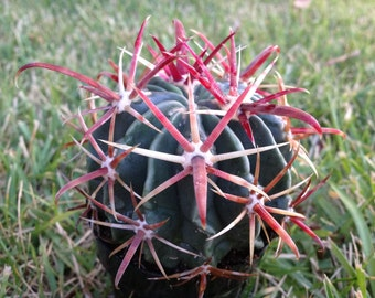 Cactus Plant, Barrel Cactus Devils Tongue, limited time availability.