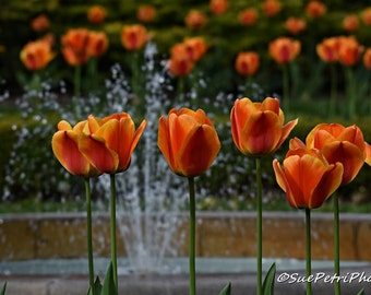 Orange Tulips, Spring Flowers, Flower Photography, Nature Photography, Cottage Chic, Romantic Decor, Orange, Home Decor, Wall Art, Tulips