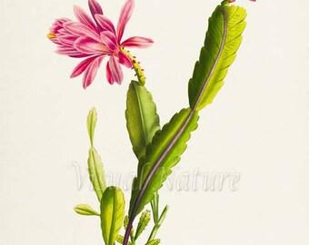 Pink Cactus Art Print, Botanical Art Print, Cactus Wall Art, Cactus Botanical Print, Home Decor, green pink art print
