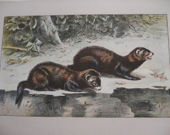 ANTIQUE 1907 Le Putois Skunk Polecat signed animal print Chromolithograph P Mahler German artist Collectors item Birthday gift Authentic