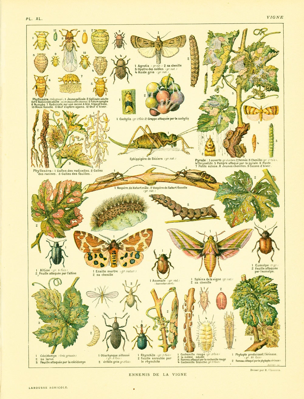 1922 Large Antique Grapes Vine Plant Print. Diseases. Pests.