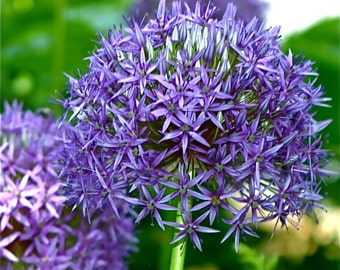 Agapanthus Plant, Lily Of The Nile, Perennial Blue/Purple Flowers - 2 Healthy Rooted Seedling Plants
