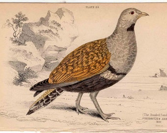 1836 banded sand grouse male original antique hand colored jardine game bird engraving - pterocles arenarius