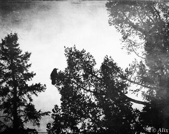 Raven Among the Pines