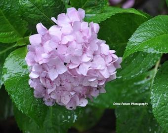 Pink Hydrangea on a rainy day
