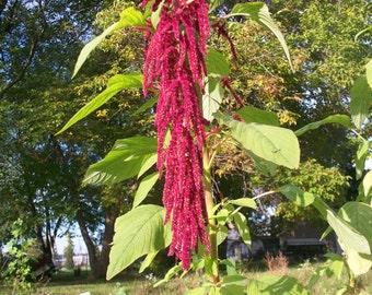 50 seeds love lies bleeding amaranthus Free Shipping