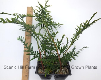 Green Giant Thuja (Cedar/ Arborvitae) 12-18 Inches Tall - 4 potted plants