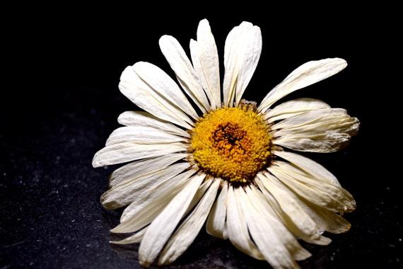 Dried flower shasta daisy white flower yellow center like this item mightylinksfo Images