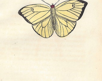 The Statirian Butterfly (Brazil). Antique engraving with original hand-colouring, circa 1832