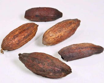 Cacao pods - natural dried pod coco - brown - 12-18cm