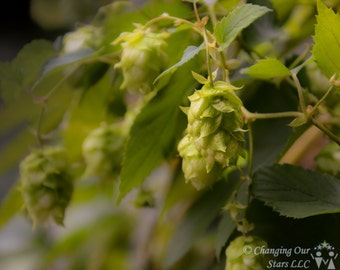 Hops at the Cloisters - Photograph