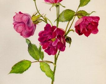 Vintage Red Rose Flower Print Cottage Decor Shabby Chic Botanical Flower Illustration Gallery Wall Art  1357