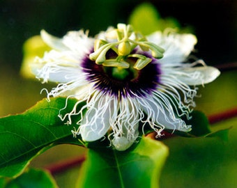Lilikoi Hawaiian Passion Flower Fine Art Photo Greeting Card - Flower Photography Notecard - Nature Photography - White and Purple Flower