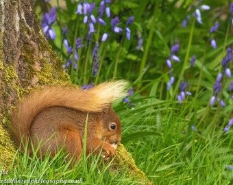 Red Squirrel in the Bluebells - Photograph