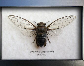 Real Gossamer Wings Cicada Pomponia Imperatoria Entomology Collectible In Shadowbox