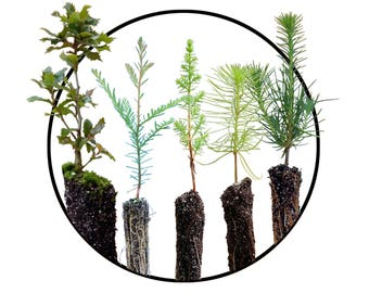 Trees of Monterey | Collection of 4 Tree Seedlings | The Jonsteen Company