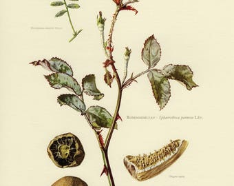 Vintage lithograph of plant pathogens, false truffle fungus and sphaerotheca pannosa from 1964