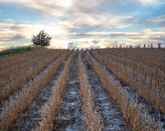 Farming Photography Print - Picture of Soybean Rows in Eastern Nebraska Field Farm Photo Country Home Decor 4x6 to 30x45
