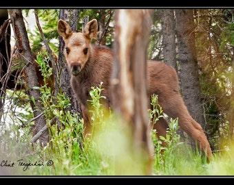Baby Moose , Wildlife Photography