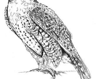 White Peregrine Falcon For Sale