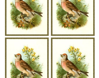 Vintage Singing ROSE LINNET BIRD Framed Image Sheet - Digital Instant Download - nature avian songbird ephemera print collage supply