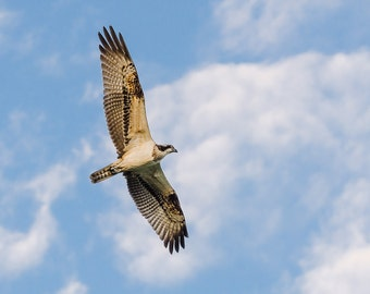 Osprey - Fine Art Nature Photography Print
