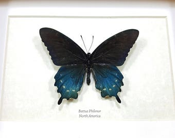 FREE SHIPPING Framed Battus philenor Pipevine Swallowtail or Blue Swallowtail Taxidermy A1-/A- #28