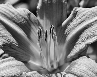 Close up flower photography,  fine art black and white photograph - macro flower print, various size options
