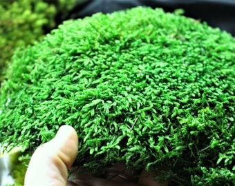 BULK Sheet Moss-Preserved Moss-Secret Gardens-Wedding Moss-REAL moss-Soft Moss-6 square foot box
