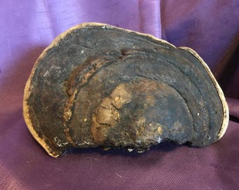 50+ Year Old Tree Fungus Tree Fungus Curiosities Fungus From Tree Beefsteak Fungus - FREE USA Shipping at Everything Vintage!
