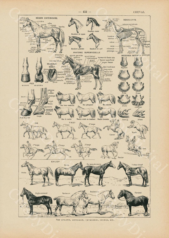 Vintage Horse Anatomy Chart Horse Print Horse Decor French