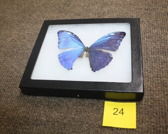 Discounted Morpho Butterfly