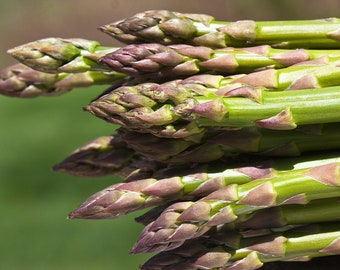 Organic Jersey Knight Asparagus Seeds  - Another of the Great Asparagus From New Jersey