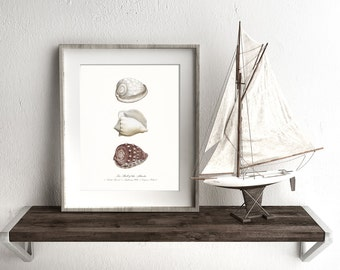 Coastal Decor - Three Atlantic Sea Shells Nautical Giclee Art Print 8x10
