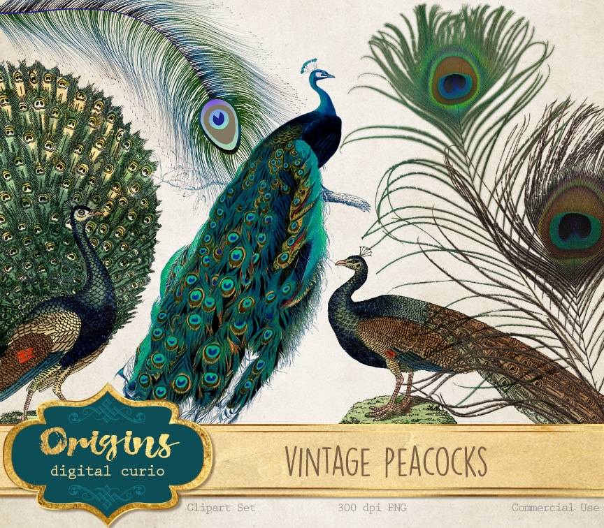 Vintage Peacock Clipart Antique Illustrations