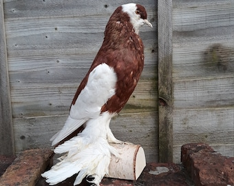 Red and White Fancy Pigeon Taxidermy Really BIG ONE!!!