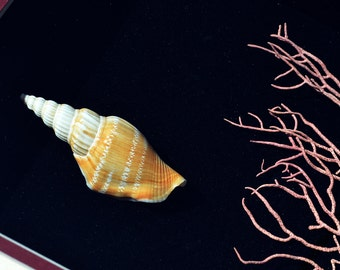 Beautiful Delicate Shell StrombusVittatus Apicatus with Pink Coral In Quality Shadowbox